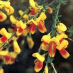 花木 庭木の苗/エニシダ:ホホベニ(ほお紅)3〜3.5号ポット