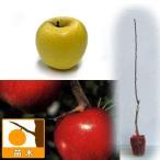 果樹の苗/リンゴ2種セット:シナノゴールド(矮性台木)とシナノスイート