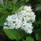 花木 庭木の苗/ライラック:マダムレモイネ5号ポット