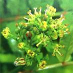 花木 庭木の苗/山椒(サンショウ):花サンショウ5号ポット