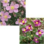 草花の苗/シュウメイギク(秋明菊):2種(ダイアナ・桃花一重)3号ポット2株セット