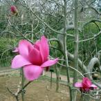 花木 庭木の苗/モクレン(マグノリア):バルカン5号ポット