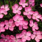 草花の苗/17年3月中旬予約 ナデシコ:花はなライトピンク3号ポット
