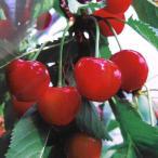 果樹の苗/サクランボ:紅秀峰(ベニシュウホウ)4〜5号ポット