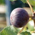 果樹の苗/イチジク:ビオレ・ソリエス4〜5号ポット