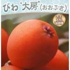 果樹の苗/ビワ:ジャンボ大房(オオブサ)4.5号ポット