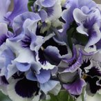 草花の苗/パンジー:ムーランフリルトリコロールルージュホワイトミックス3.5号ポット3株セット