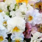 草花の苗/パンジー:ムーランフリルパステルルージュミックス3.5号ポット3株セット