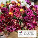 草花の苗/パンジー:エディブルムーランフリルローザミックス3.5号ポット3株セット