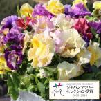 草花の苗/パンジー:エディブルムーランフリルゴールデンミックス3.5号ポット3株セット