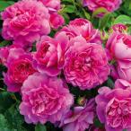 バラの苗/イングリッシュローズ:プリンセス・アン大苗5号角鉢