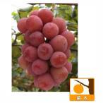 果樹の苗/ブドウ:クイーンニーナ挿木苗5号ポット