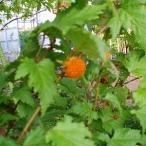 果樹の苗/日本の木いちご(キイチゴ):モミジイチゴ 4号ポット