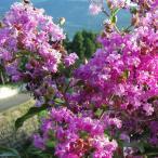 花木 庭木の苗/サルスベリ:ディアパープル6号ポット