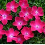 草花の苗/ナデシコ:花はなスカーレット3号ポット2株セット