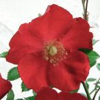 Yahoo!園芸ネットバラの苗/棚卸セール フラワーカーペットローズ:レッド3.5号ポット