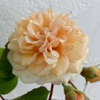 バラの苗/つるバラ:バフ・ビューティ 大苗