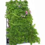 草花の苗/マット植物:シバザクラ ダニエルクッションのマット25cm×25cm 6枚セット