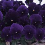 草花の苗/パンジー:よく咲くスミレプルーン3〜3.5号ポット4株セット