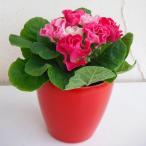 草花の苗/プリムラ:いちごのミルフィーユ3号ポット
