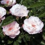 バラの苗/オールドローズ:ブラッシュ ノアゼット大苗
