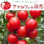 野菜の苗/17年4月中旬予約 イタリアントマト:アマルフィの誘惑3号ポット