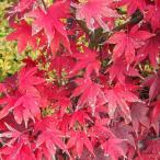 花木 庭木の苗/モミジ:大盃(オオサカズキ)樹高1.2m根巻きまたはポット苗