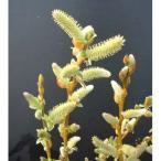 花木 庭木の苗/ネコヤナギ:ゴールデン(黄金)ネコヤナギ4号ポット