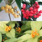 花木 庭木の苗/縁起のよい実もの3種セット(万両・千両・百両)