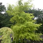 黄金葉の美しい庭園樹!