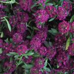 草花の苗/アリッサム:イースターボネット バイオレット3号ポット4株セット