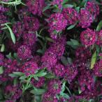 草花の苗/アリッサム:イースターボネット バイオレット3号ポット12株セット