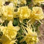 草花の苗/八重咲オダマキ:サンシャイン3〜3.5号ポット2株セット