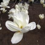 花木 庭木の苗/モクレン:白木蓮(ハクモクレン) 5号ポット