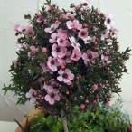 花木 庭木の苗/ギョリュウバイ・ピンク スタンド仕立て4号ポット