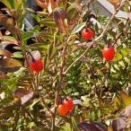 花木 庭木の苗/クコ(枸杞):ウルフベリー 3号ポット