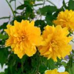 花木 庭木の苗/ヤマブキ(山吹):八重咲ヤマブキ3.5号ポット