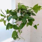 観葉植物/カンガルーアイビー6号吊り鉢入り