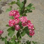 花木 庭木の苗/サンザシ:紅花サンザシ6号ポット
