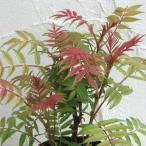 花木 庭木の苗/ナナカマド:ホザキナナカマド セム ルートバック樹高60〜70cm