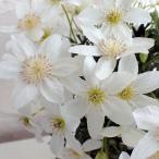 クレマチスの苗/クレマチス:カルトマニージョー4号鉢植え