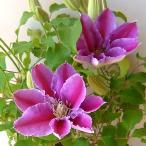 クレマチスの苗/クレマチス:ドクターラッペル5号鉢植え*