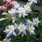 草花の苗/オダマキ:オリガミ ブルー&ホワイト3号ポット3株セット