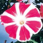 イポメア 花つきが良い! 花付が大変良い!