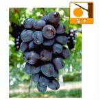 果樹の苗/ブドウ:オリエンタルスター挿木苗5号ポット