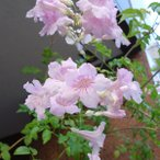 草花の苗/長尺つるもの:ノウゼンカズラ(ピンク)5号長さ1.5m