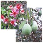 花木 庭木の苗/フェイジョア:アポロ樹高0.9m根巻きまたはポット入り