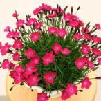 草花の苗/17年3月中旬予約 芳香四季咲きなでしこ:かほりスカーレット3号ポット