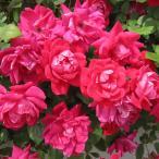 バラの苗/四季咲中輪バラ:ダブルノックアウト大苗