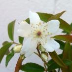 バラの苗/モッコウバラ:白花一重 大苗4号ポット